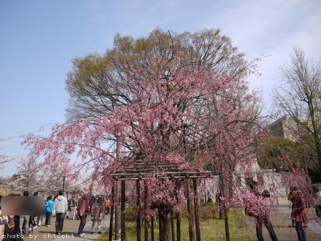 大阪城公園の桜 ~その三~