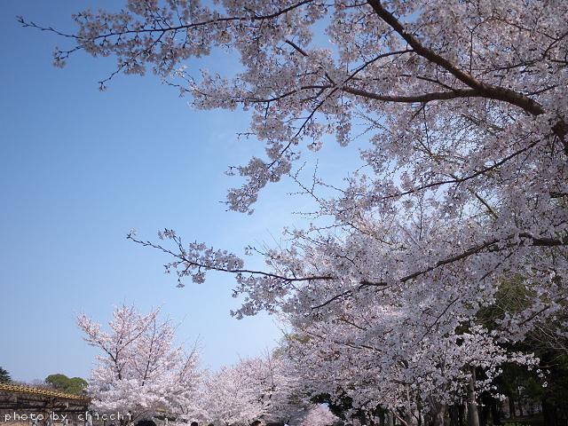 大阪城公園の桜 ~その四~