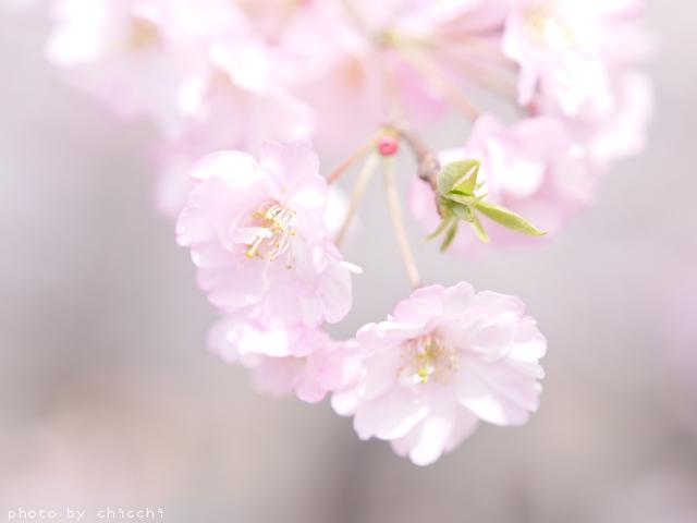大阪城公園の桜 ~その五~