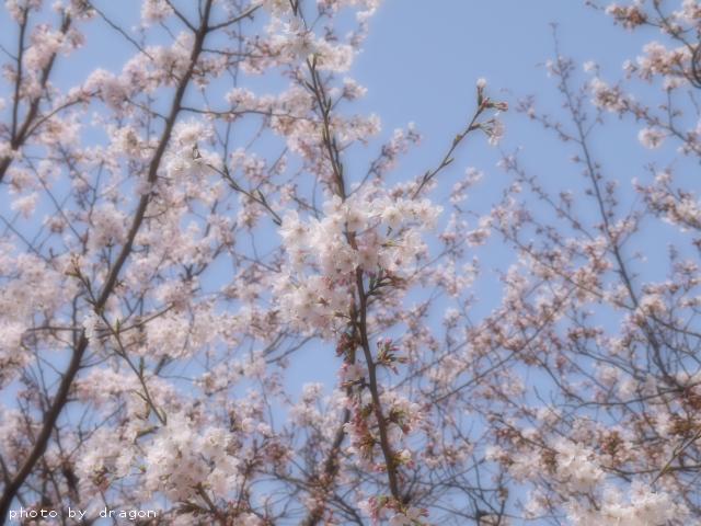 大阪城公園の桜 ~番外編~
