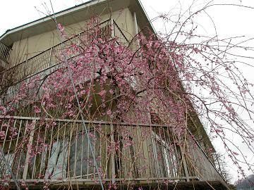 「ふれあいの 桜に集ふ 公民館」