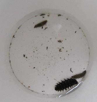 1cm程に育つたゲンジホタルの幼虫です。