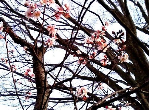 夕空と冬桜 !? 川の一里塚 !?⑤
