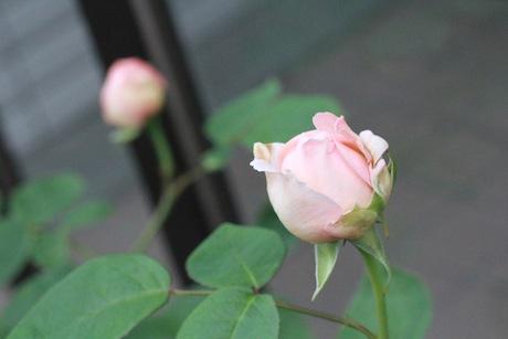 もうすぐ開花