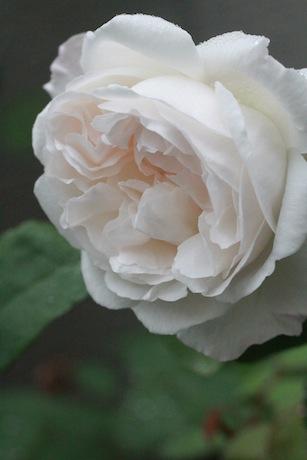 ウィンチェスター開花