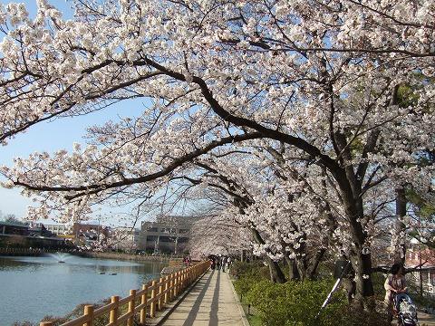 京都桜巡り2010⑤「長岡天満宮」