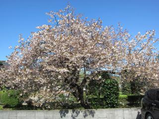 八重桜の樹