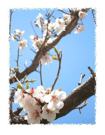 梅咲きました