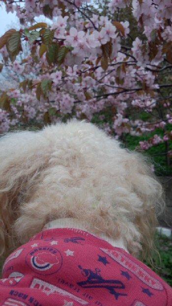 桜と龍2013-1